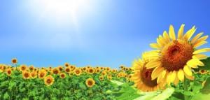 ひまわり畑と日差しの強い青空